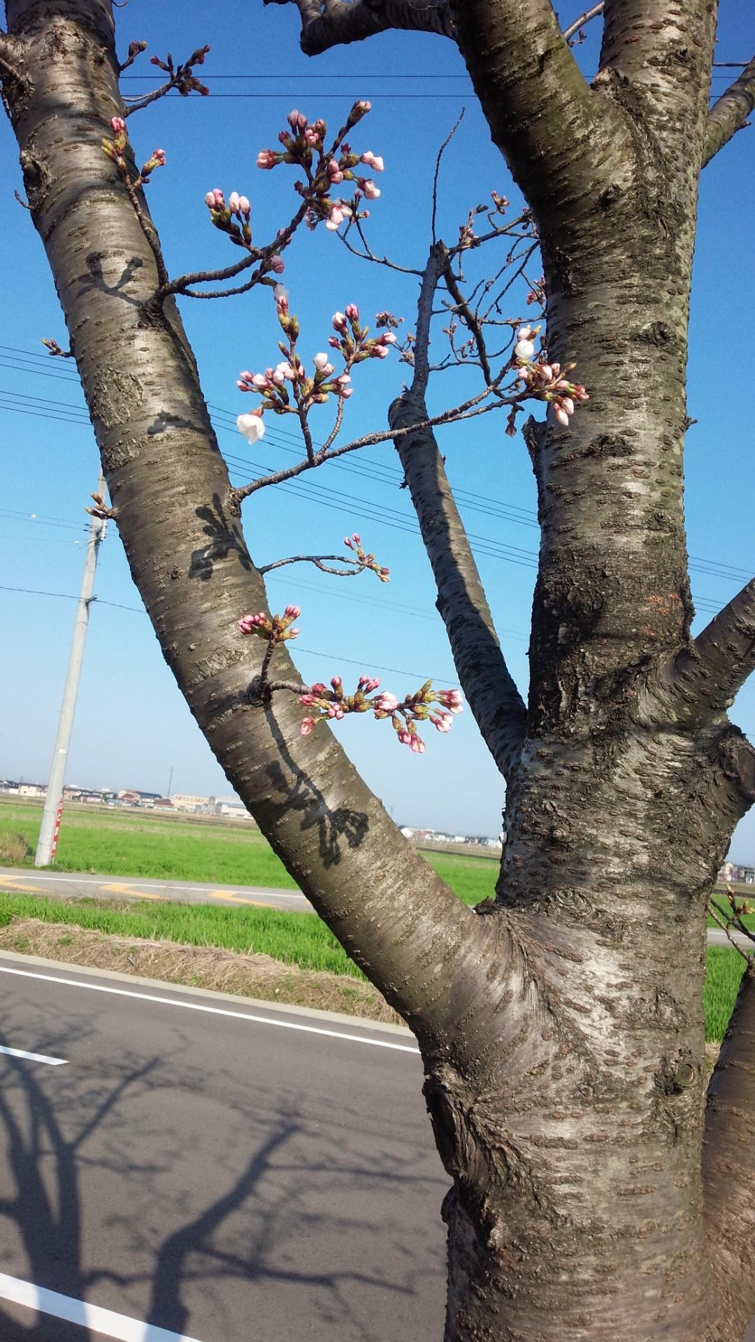 観察中の桜の木